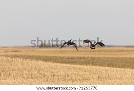 Canada Geese in Flight on Prairie Saskatchewan - stock photo