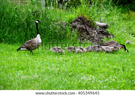 Canada Geese pair with babies in green grass. - stock photo