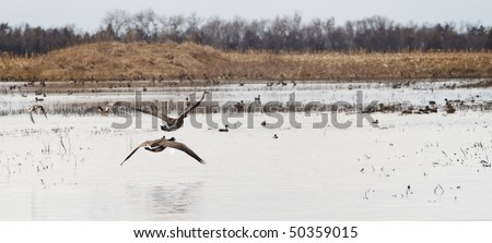 Canada Geese Take Off - stock photo