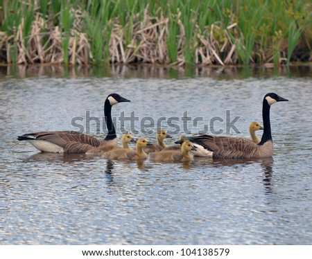 Canada geese with goslings swimming - stock photo