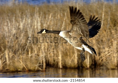 canada goose - stock photo