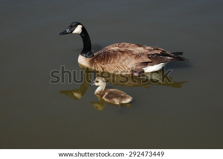 Canada Goose and Gosling swimming together on lake - stock photo