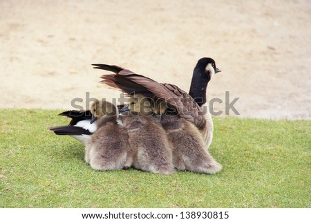 Canada Goose and Goslings Three new born goslings tucked under the protection of their parents wing. - stock photo