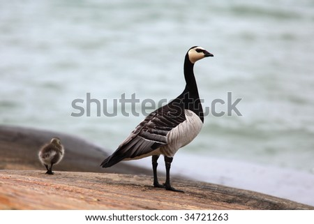 Canada goose and its gooseling on the shoreline.