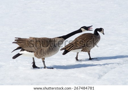 canada goose appears to be yelling at the other - stock photo