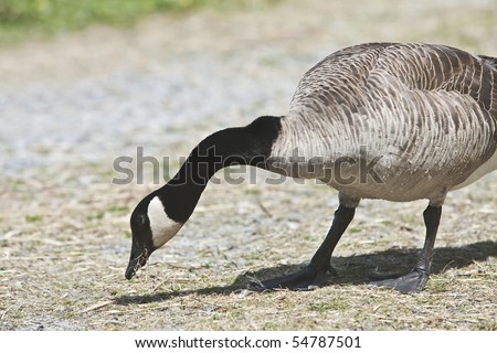 Canada Goose- Branta canadensis - stock photo