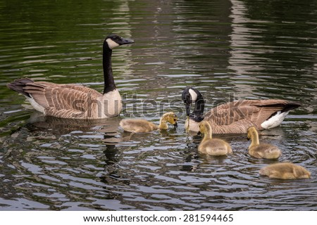 Canada Goose (Branta canadensis) Family Feeding Time - swimming in pond - stock photo