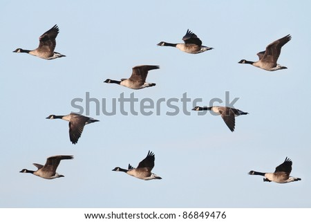 Canada Goose (Branta canadensis) in flight with a blue sky background - stock photo