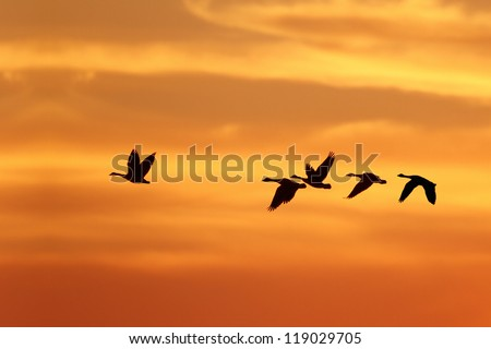 Canada Goose (Branta canadensis) Leading Rest of Flock on Migration South Against a Sunset - Grand Bend, Ontario, Canada - stock photo