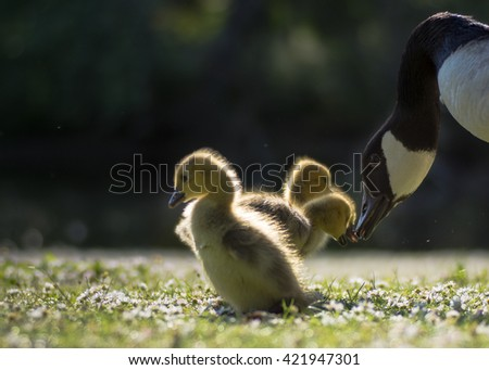 Canada goose (Branta canadensis) parent bird with goslings. Young chicks touching beaks with wild adult, on short grass with many daisy flowers - stock photo