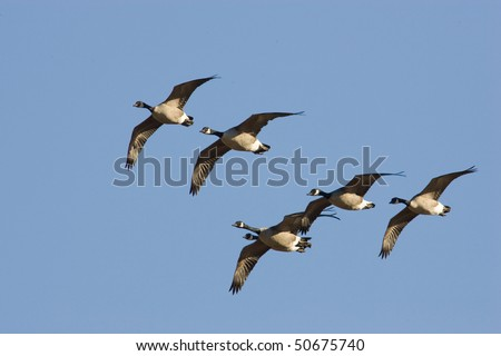 Canada Goose (Branta canadensis), Silver Lake, Newtown, Pa. - stock photo