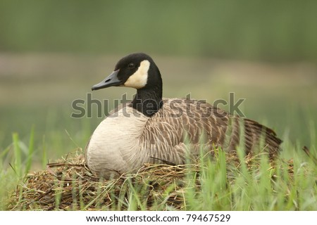 Canada Goose (Branta canadensis) Sitting on Nest - Pinery Provincial Park, Ontario, Canada - stock photo