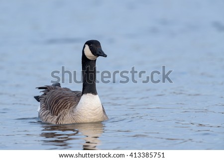 Canada Goose (Branta canadensis) swimming in a lake.
