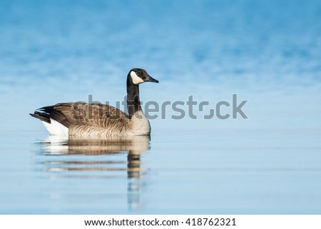 Canada Goose - Branta canadensis, swimming in a lake, reflection in the blue water.
