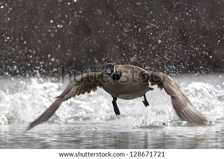 Canada Goose, branta canadensis, taking flight and splashing water drops in the air during takeoff, at a city metro park near Cleveland, Ohio nature, bird, & wildlife photography - stock photo
