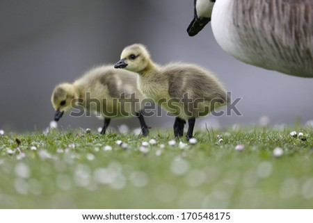 Canada goose, Branta canadensis, two goslings on grass with adult in background, London, May 2013              - stock photo