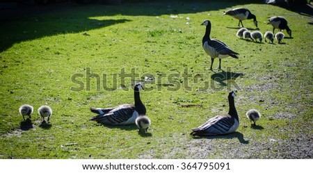 Canada goose, Branta canadensis. Wildlife animal. Family from mother-birds and fluffy baby goslings on the green grass - stock photo