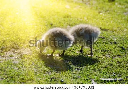 Canada goose, Branta canadensis. Wildlife animal. Two fluffy baby gosling in sun rays - stock photo