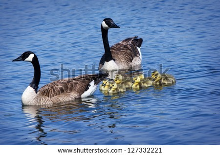 Canada Goose family swimming in the lake - stock photo