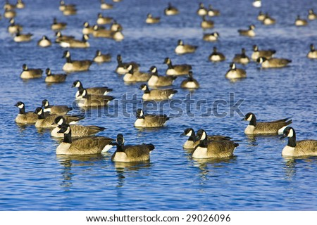 Canada Goose flock on lake of vividly blue water - stock photo