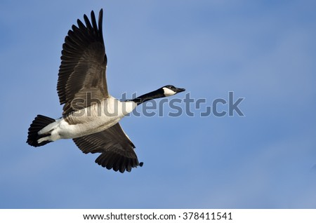 Canada Goose Flying in a Blue Sky - stock photo