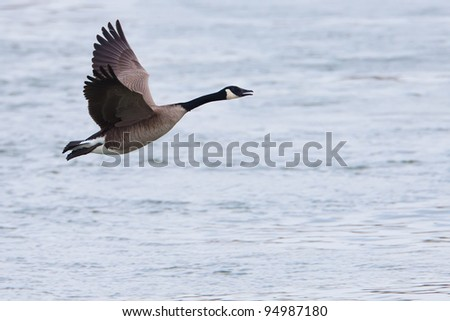 Canada Goose flying over water - stock photo