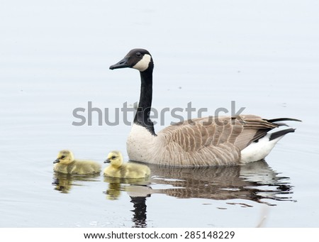 Canada goose goslings sitting in the water. - stock photo