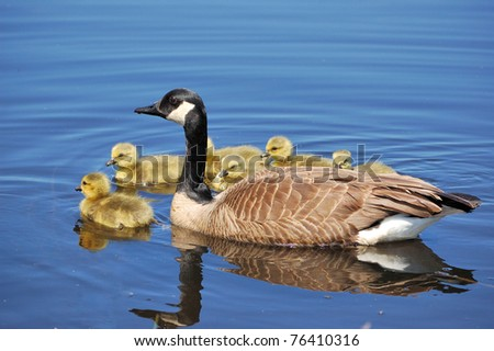 Canada goose goslings swimming in a pond. - stock photo