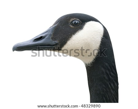 Canada Goose head with clipping path. - stock photo