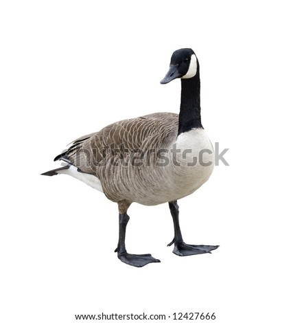 Canada goose isolated on a white background - stock photo