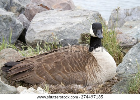 Canada Goose nesting in the rocks along the shore - stock photo