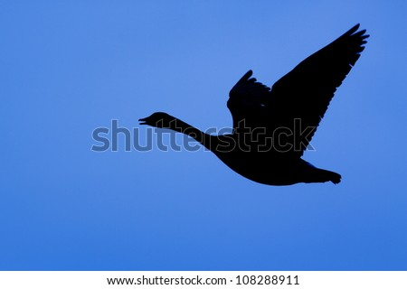 Canada Goose Silhouette, flying against a blue sky - stock photo