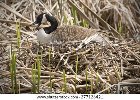 Canada goose sitting on a nest with her bill open, in a marsh at Great Meadows National Wildlife Refuge in Concord, Massachusetts. Scientific name is Branta canadensis. - stock photo