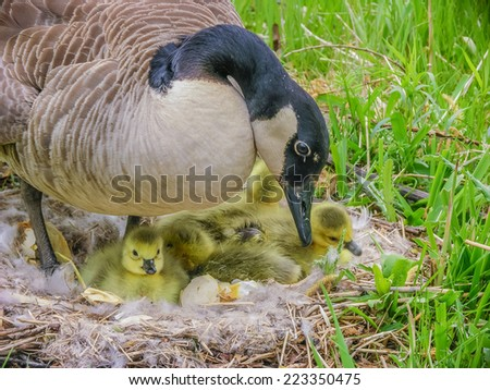 Canada Goose sitting on a nest with newly hatched goslings. - stock photo