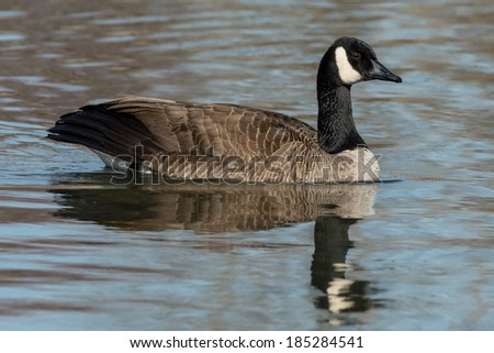 Canada Goose swimming in open water. - stock photo