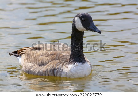 Canada Goose swims on the lake - stock photo