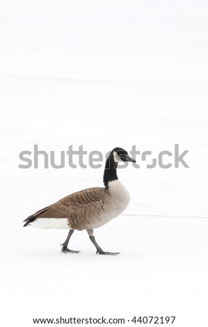Canada Goose walking alone in the snow - stock photo