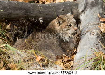 Canada lynx, Canadian lynx, with forest in background and fall foliage