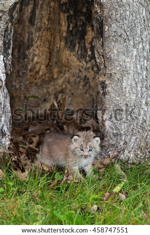 Canada Lynx (Lynx canadensis) Kitten Crawls Out from Hollow Tree - captive animal