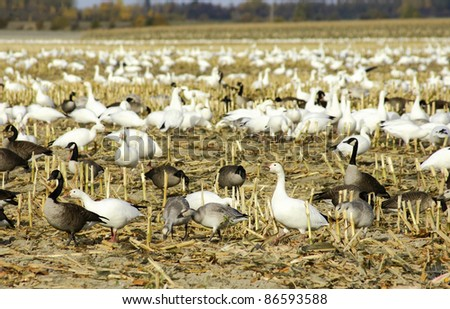 Canadian and snow geese resting and feeding in a harvested corn field before migrating