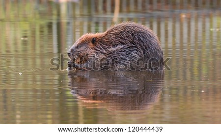 Canadian Beaver (Castor canadensis) in the water, gnawing on some wood in the wild - stock photo
