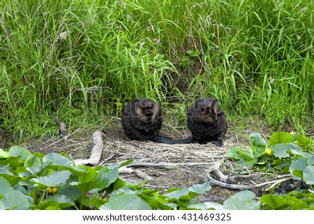 Canadian Beavers on bank side