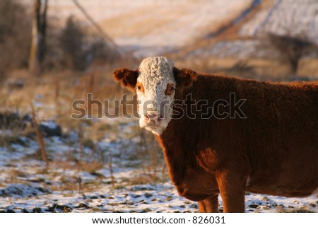 Canadian cow outside in winter - stock photo