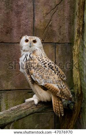 Canadian Eagle Owl - stock photo