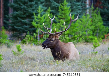 Canadian Elk relaxing in the evening in Jasper National Park, Alberta, Canada