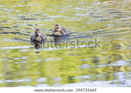 canadian geese babies floating on a pond in Lake Tahoe, early spring