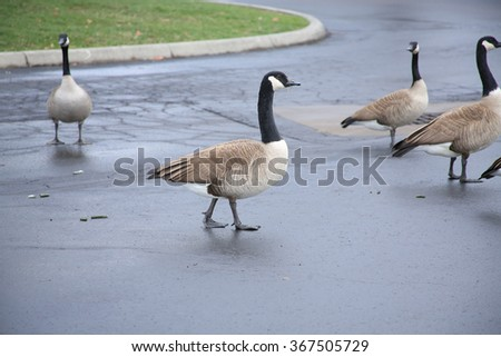 Canadian geese crossing the street - stock photo