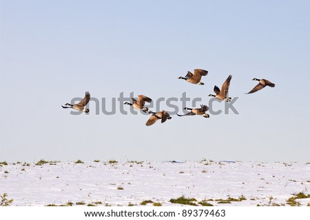 Canadian Geese flying from snow covered hilltop in Lancaster County,Pennsylvania,USA. - stock photo