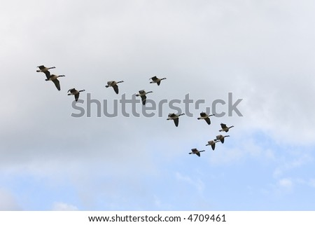 Canadian Geese flying south
