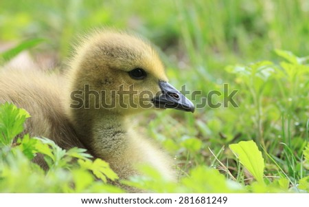 Canadian Geese Gosling in grass relaxed in beautiful soft light - stock photo